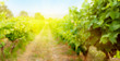 canvas print picture - Blurred backdrop with sunny landscape of vineyard