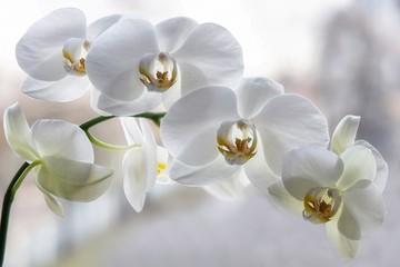 Fototapeta na wymiar Branch of blooming white orchid closeup
