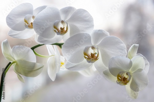 Fototapeta Branch of blooming  white orchid closeup obraz
