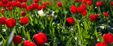 Selective Focus On Red Tulips ...