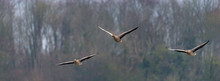 Three Geese Flying In Formation