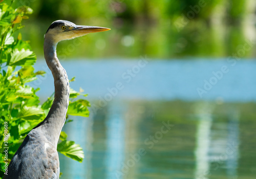 Grey Heron On Lake Poster Mural XXL