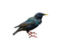 Common Starling / European Sta...