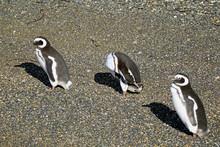 Penguins Relaxing In The Sunli...