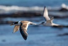 Tern Flying Over Sea