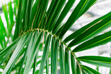 Palm Tree With Thin Leaves. Su...