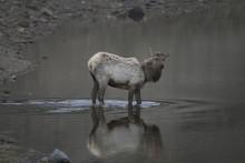 Single Elk In Water In Yellowstone, USA