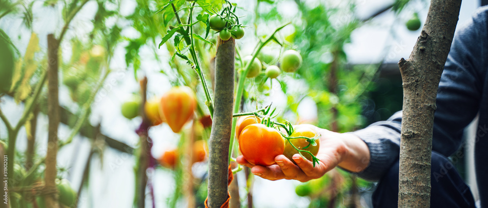 Fototapeta Woman caring for growing tomato fruits in a greenhouse