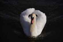 White Swan On The Lake