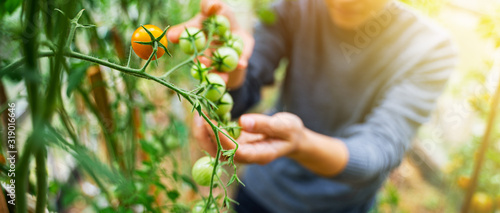 Fototapeta Woman caring for growing tomato fruits in a greenhouse obraz