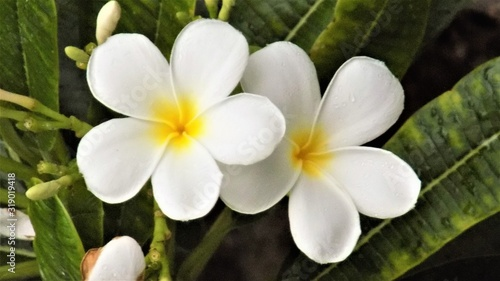 Photographie white frangipani flowers in the garden