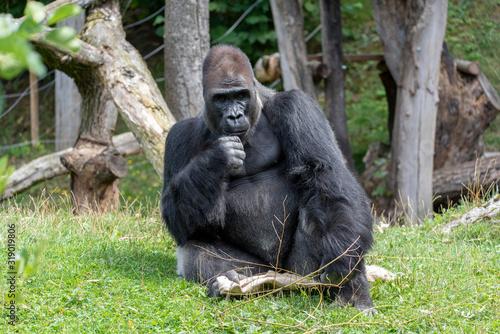 Valokuvatapetti Western lowland gorilla (Gorilla gorilla gorilla), adult, captive