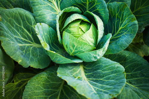 Foto Fresh green head of cabbage