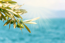 Green Olives Tree Branch On Bl...