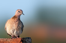 A Laughing Dove In Evening Lig...