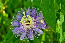 Close Up Of A Tropical Looking Purple Passion Flower In The Garden