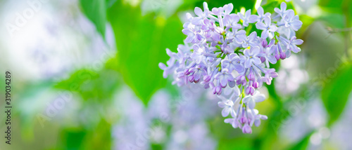 Spring branch of blossoming lilac. Lilac flowers bunch over blurred background. Purple lilac flower with blurred green leaves. Valentine's day. Copy space