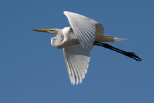 Great Egret Soars Close By