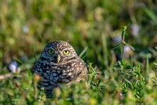 Young Male Burrowing Owl