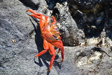 Granchio Delle Galapagos