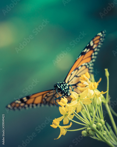 monarch butterfly with yellow flowers on green background Canvas Print