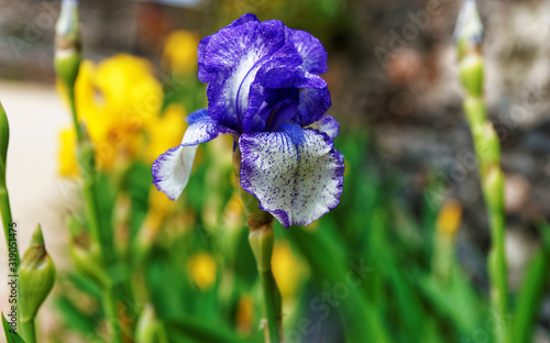 Violet and white Iris in the Kitchen garden in Loire valley in France