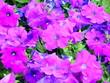 canvas print picture - Pygmy flowers