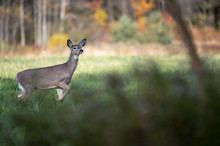 Whitetail Deer In The Field