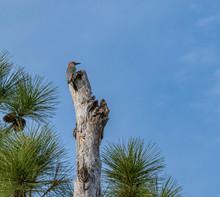 Red Bellied Woodpecker On Top ...