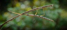 Macro Stick Bug On A Stick