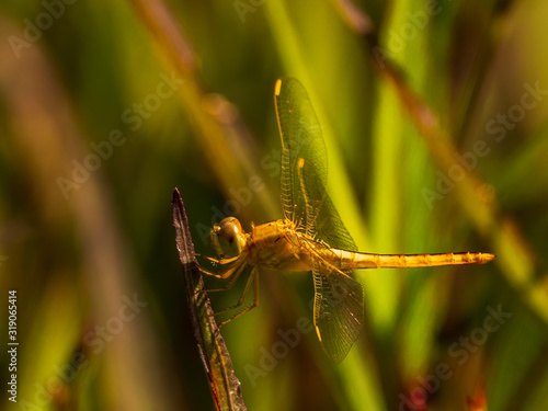 Vászonkép The Wandering Glider Dragonfly has a yellow abdomen and clear wings