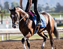 Bay Racehorse Jogging