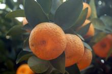 Oranges Hang On The Orange Tree