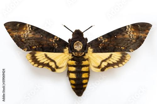 Sphingidae moth - Acherontia atropos isolated on white background Canvas Print