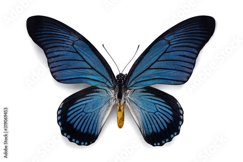 Beautiful butterfly bold blue birdwing Papilio Zalmoxis with blue black striped wings isolated on white background Canvas Print