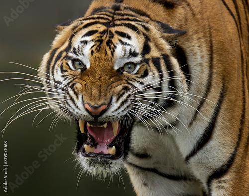 Foto Close-Up Portrait Of Tiger Roaring