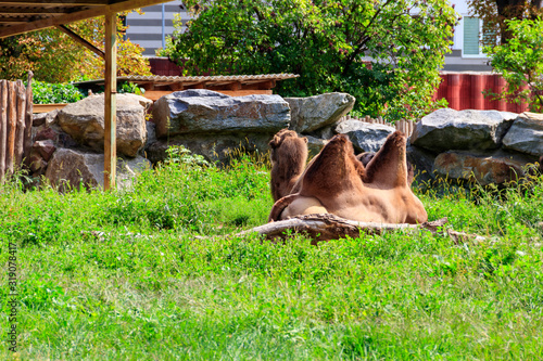 Two bactrian camels (Camelus bactrianus) Wallpaper Mural