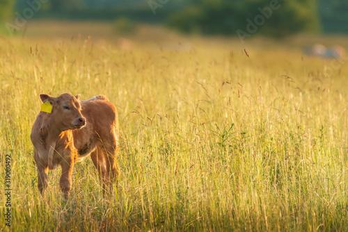 Calf On Grassy Field Fotobehang