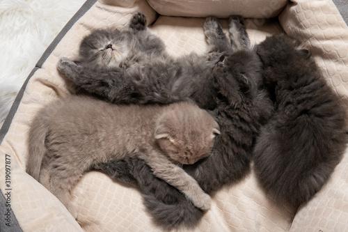 Fototapety, obrazy: Four little kittens sleep in a cat bed