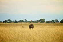 Rear View Of Ostrich On Field Against Sky
