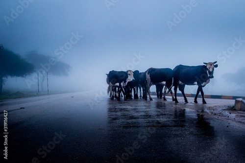 Tela Cows Standing On Road During Foggy Weather
