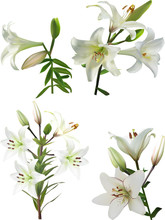 Four Isolated White Lily Blossoming Branches