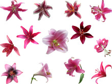 Thirteen  Pink Lily Blooms Iso...