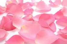 Fresh Pink Rose Petals On Whit...