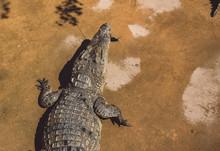 High Angle View Of Crocodile Eating Fish On Land