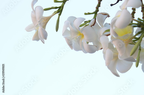 Fototapety, obrazy: Beautiful group of White plumeria (frangipani) blooming in the morning,Bright white yellow plumeria flowers as a floral background,Close-up plumeria tree with flowers