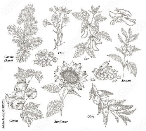 Fototapeta Oil plants set. Canola, cotton, flax, sunflower, olive, soy and sesame branches and flowers hand drawn. Vector illustration botanical. Vintage engraving. obraz