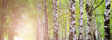 Birch Alley, Russian Nature, Sun Toned