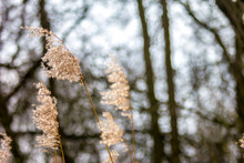 Seed Plumes Of Reed Against Li...