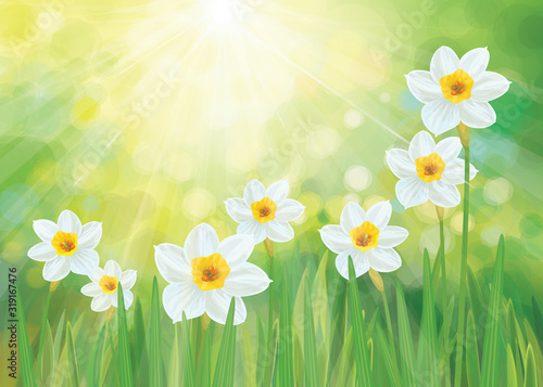 Vector daffodil flowers. Spring  background. Tableau sur Toile